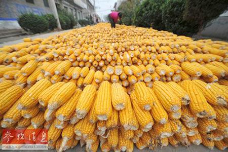 中国退运54.5万吨美国玉米检出转基因成分